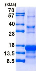 SDS-PAGE - Recombinant Human Inhibin alpha protein (denatured) (ab139243)