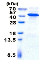 SDS-PAGE - Recombinant Human IMPAD1 protein (denatured) (ab139247)