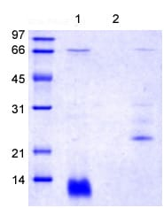 SDS-PAGE - Recombinant Rat Trefoil Factor 3 protein (ab139250)