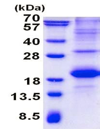 SDS-PAGE - Recombinant Human SLAM / CD150 protein (denatured) (ab139259)