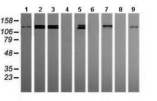 Western blot - Anti-PCDH7 antibody [OTI2G6] (ab139274)