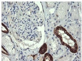 Immunohistochemistry (Formalin/PFA-fixed paraffin-embedded sections) - Anti-GBAS antibody [OTI1B8] (ab139357)