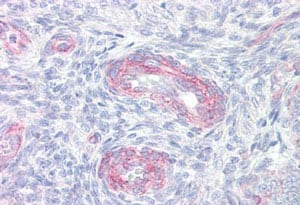 Immunohistochemistry (Formalin/PFA-fixed paraffin-embedded sections) - Anti-Cytosolic Phospholipase A2 antibody (ab139388)