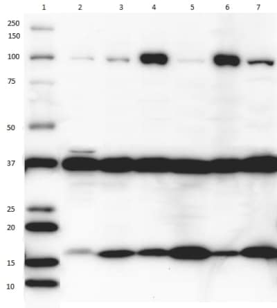 Plasma Membrane Western Blot Cocktail Cross Reactivity