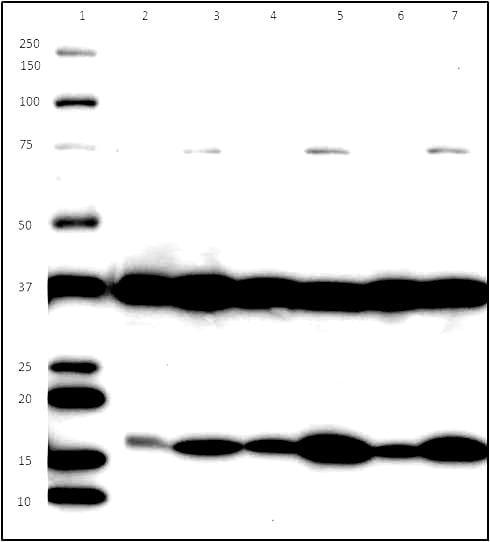 Western Blot for Endoplasmic Reticulum Membrane Antibody Cocktail – Cross Reactivity