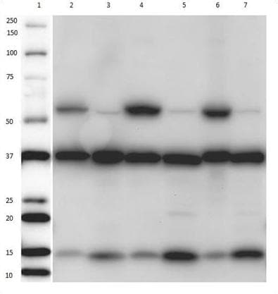 Western Blot for Mitochondrial Membrane Antibody Cocktail – Cross Reactivity