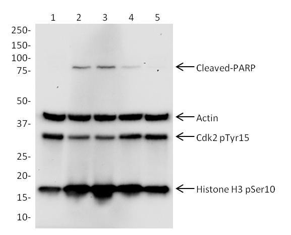 Western blot – Cell Cycle + Apoptosis Western Blot Cocktail (ab139417):  HeLa cells
