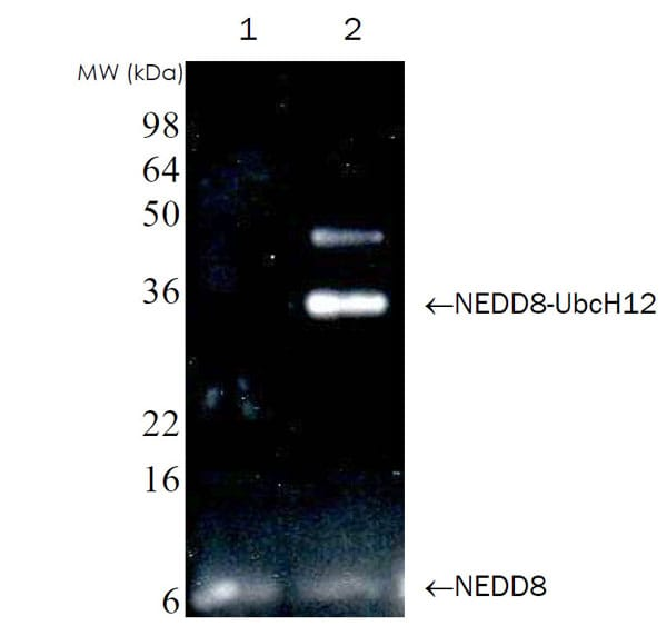 Western Blot of NEDD8-UbcH12 thioester assay