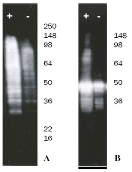 Western blot of S100 ubiquitin conjugation assays of both endogenous lysate and exogenously added p53 proteins.