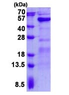 SDS-PAGE - Recombinant Human GALT protein (ab139613)