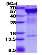 SDS-PAGE - Recombinant Human RPN2 protein (ab139620)