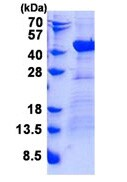 SDS-PAGE - Recombinant Human DNAJB4 protein (ab139625)