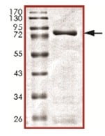SDS-PAGE - Recombinant Human VRK3 protein (ab139630)