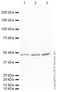 Western blot - Anti-Junctional Adhesion Molecule 2/JAM-B antibody (ab139645)