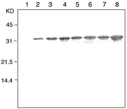 Western blot - Anti-Thioredoxin 1 antibody [2C9] (ab139677)