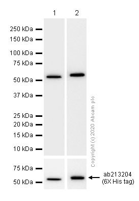 Western blot - Anti-Protein Kinase A regulatory subunit I alpha/PRKAR1A+PRKAR1B antibody [EPR8491] (ab139695)