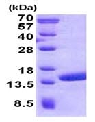SDS-PAGE - Recombinant Human POLR2J2 protein (ab139798)