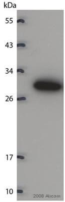 Western blot - Anti-14-3-3 antibody [CG15] (ab14110)