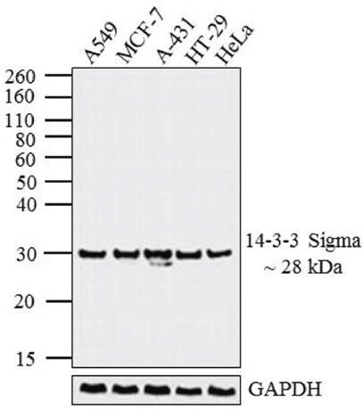 Western blot - Anti-14-3-3 sigma/SFN antibody [1433S01] (ab14123)
