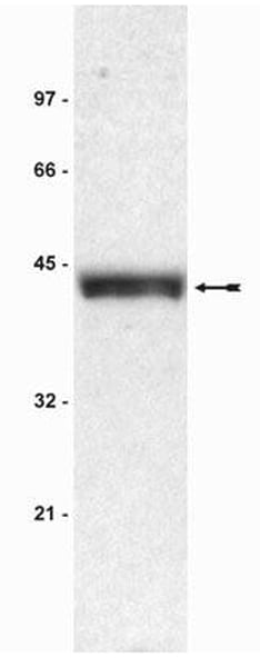 Western blot - Anti-Bmi1 antibody [F6] - ChIP Grade (ab14389)