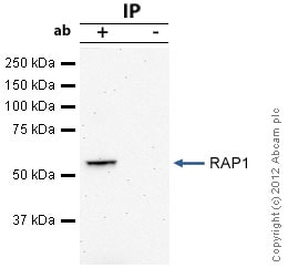 Immunoprecipitation - Anti-RAP1 antibody [4c8/1] (ab14404)