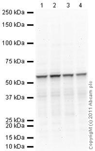 Western blot - Anti-RAP1 antibody [4c8/1] (ab14404)