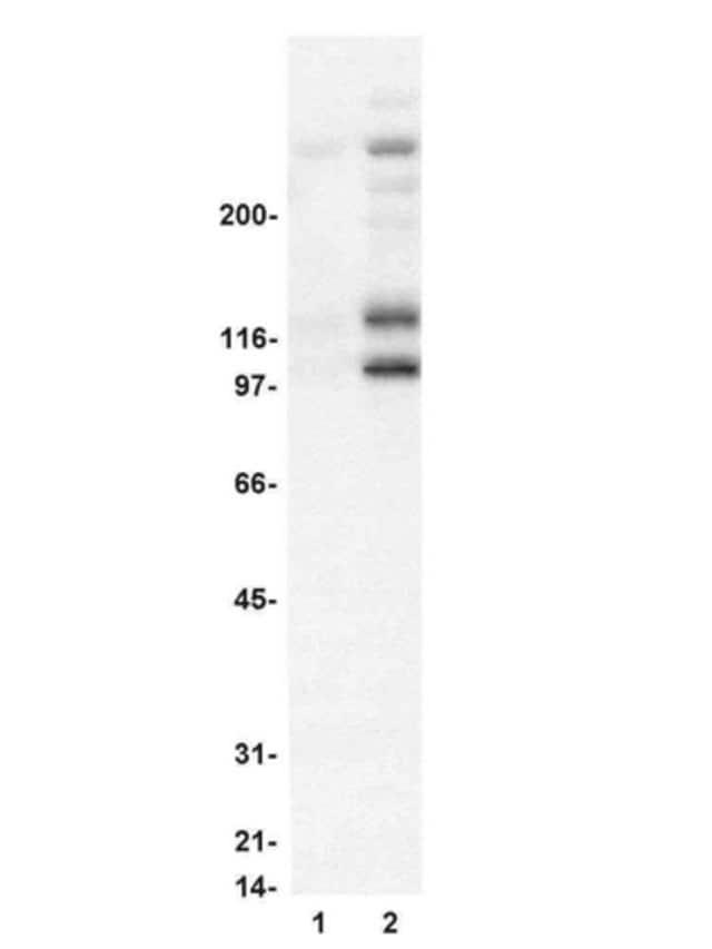Western blot - Anti-Mitotic proteins antibody [MPM-2] (ab14581)