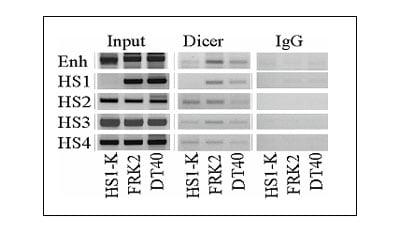 ChIP - Anti-Dicer antibody [13D6] - ChIP Grade (ab14601)
