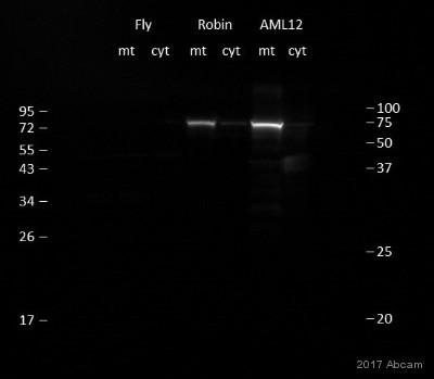 Western blot - Anti-SDHA antibody [2E3GC12FB2AE2] (ab14715)