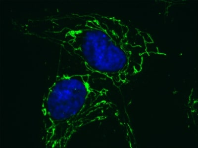 Immunocytochemistry/ Immunofluorescence - Anti-ATPB antibody [3D5] - Mitochondrial Marker (ab14730)