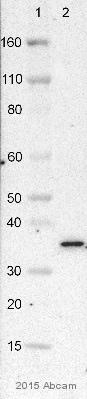 免疫印迹-抗VDAC1/孔蛋白抗体[20B12AF2](ab14734)