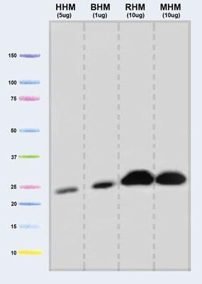 Western blot - Anti-UQCRFS1/RISP antibody [5A5] (ab14746)