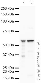 Western blot - Anti-ATP5A antibody [15H4C4] - Mitochondrial Marker (ab14748)