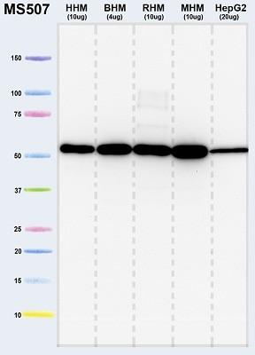 Western印迹-抗ATP5A抗体[15H4C4] -线粒体标记(AB1478)