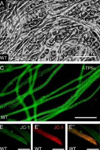 Immunocytochemistry/ Immunofluorescence - Anti-ATP5A antibody [15H4C4] - Mitochondrial Marker (ab14748)