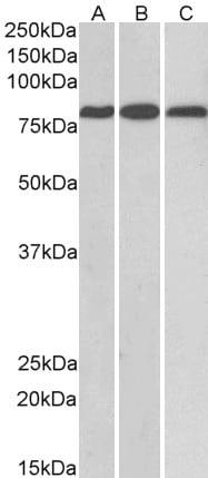 Western blot - Anti-MID2 antibody (ab14749)