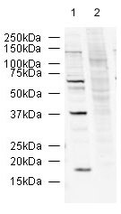 Western blot - Anti-R2D2 antibody (ab14750)