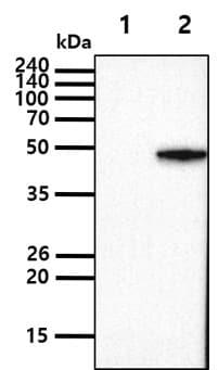 Western blot - Anti-SET7 antibody [s4E5] (ab14820)