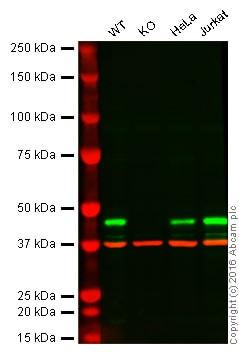 Western blot - Anti-PPM1A antibody [p6c7] (ab14824)