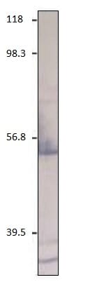 Western blot - Anti-CXCR2 antibody (ab14935)