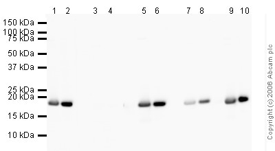 Western blot - Anti-Histone H3 (tri methyl K9, phospho S10) antibody [mAbcam 14955] - ChIP Grade (ab14955)
