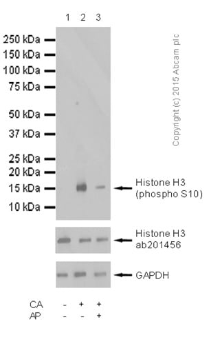 Western blot - Anti-Histone H3 (phospho S10) antibody [mAbcam 14955] (ab14955)