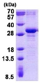 SDS-PAGE - Recombinant Human MAD3 protein (denatured) (ab140058)