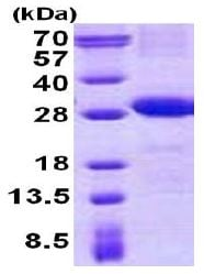 SDS-PAGE - Recombinant Human CD226 protein (denatured) (ab140062)