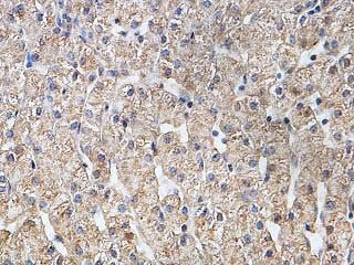 Immunohistochemistry (Formalin/PFA-fixed paraffin-embedded sections) - Anti-EGFL6 antibody (ab140079)