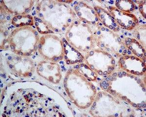 Immunohistochemistry (Formalin/PFA-fixed paraffin-embedded sections) - Anti-LSS antibody [EPR6703] (ab140124)