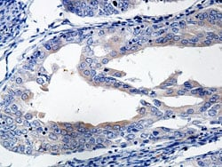Immunohistochemistry (Formalin/PFA-fixed paraffin-embedded sections) - Anti-Interferon beta antibody (ab140211)