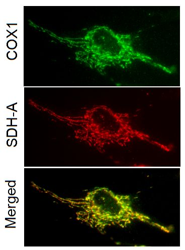 Antibody specificity demonstrated by immunocytochemistry