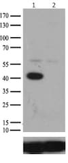 Western blot - Anti-MEK2 antibody [OTI1A2] (ab140372)