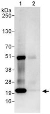 Immunoprecipitation - Anti-Proteasome subunit beta type 2/PSMB2 antibody (ab140426)